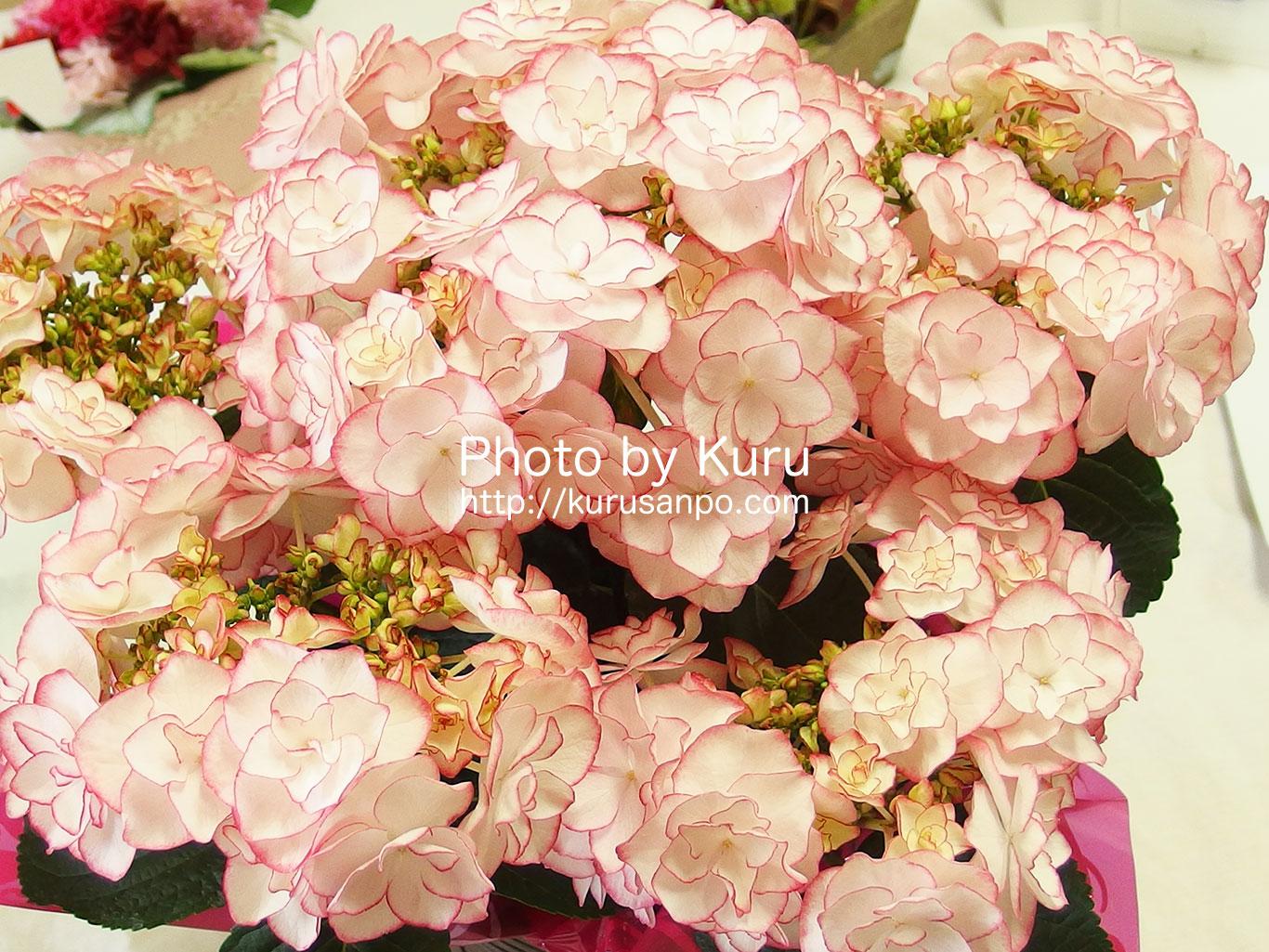 母の日に新種の紫陽花(あじさい)『KEIKO(けいこ)』はいかが??