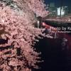目黒川の夜桜を見てきたよ♪