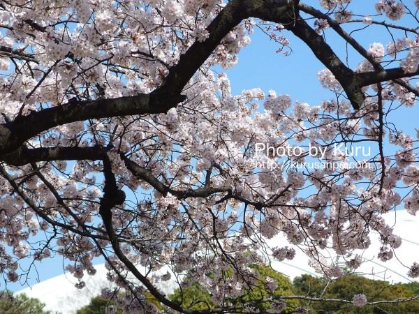 東京都文京区・小石川後楽園(こいしかわこうらくえん)『花見・桜』